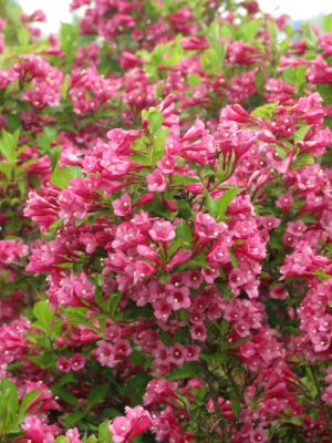 Weigela Flamingo Pink flower image