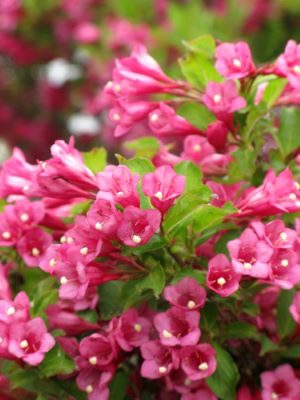 Weigela Flamingo Pink flower close-up