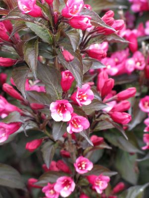 Weigela Colorstar™ Merlot Pink flower close-up