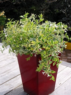 Abelia Hopleys in pot