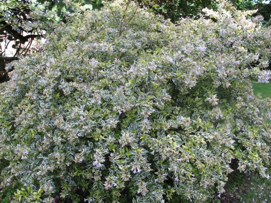 Abelia Hopleys in garden