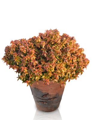 Abelia Kaleidoscope in pot