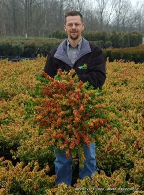 Abelia Kaleidoscope with breeder Panoramic Farm