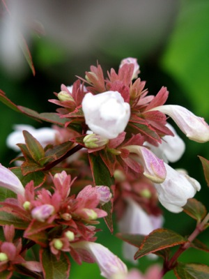 Abelia Lady Liberty flower close-up