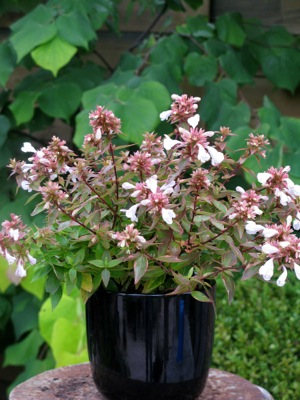 Abelia Lady Liberty in pot