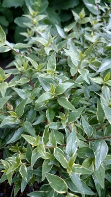 Abelia Lucky Lots foliage close-up