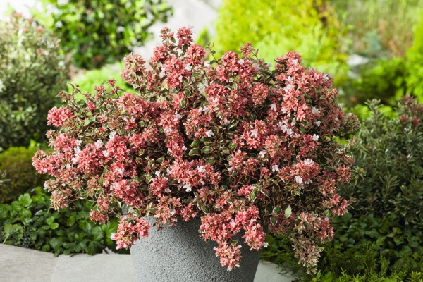 Abelia Magic Daydream on patio