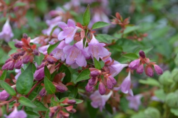 Abelia Pink Pong® flower close-up