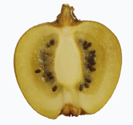 Actinidia Minkigold flower close-up