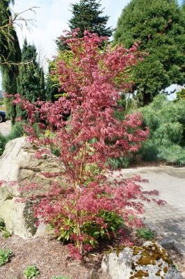Acer Starfish in garden