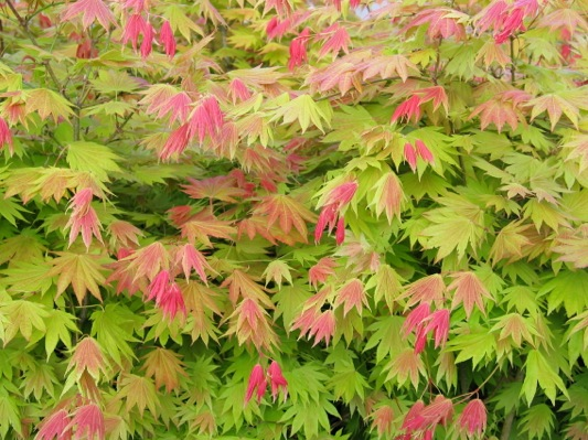 Acer Moonrise foliage