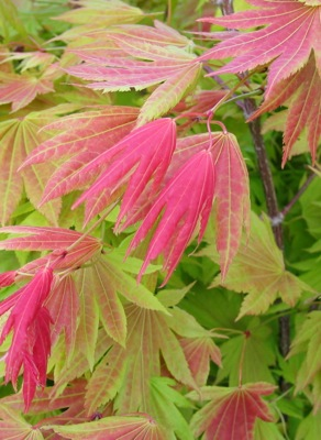 Acer Moonrise foliage close-up