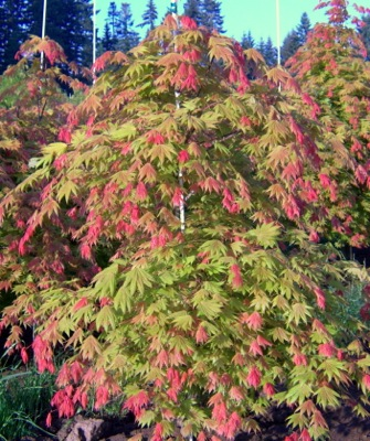 Acer Moonrise in garden