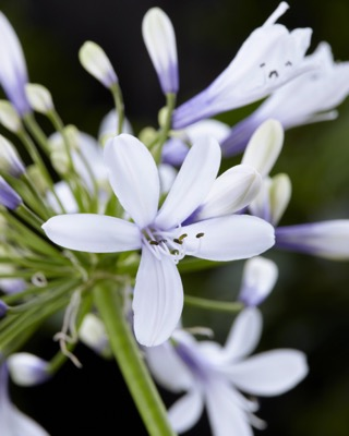Agapanthus Twister flower close-up