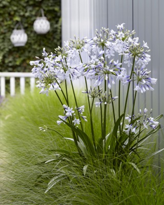Agapanthus Twister in garden