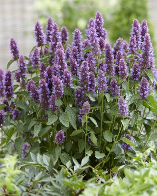 Agastache Beelicious® Purple in garden