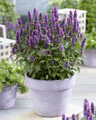 Agastache Beelicious® Purple on patio