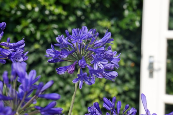 Agapanthus Brilliant Blue flower close-up
