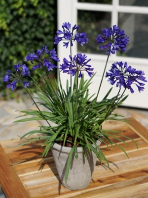 Agapanthus Brilliant Blue in pot