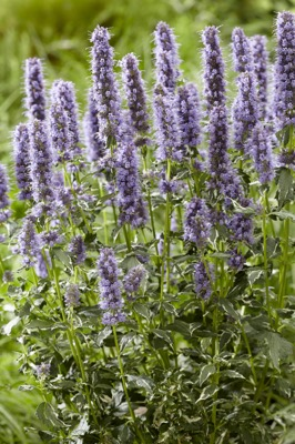 Agastache Crazy Fortune flower image