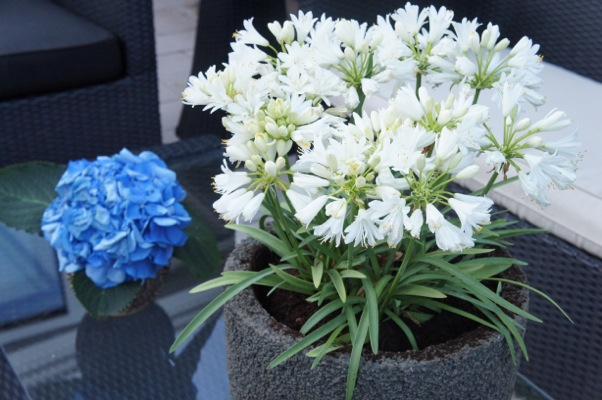 Agapanthus Double Diamond in pot