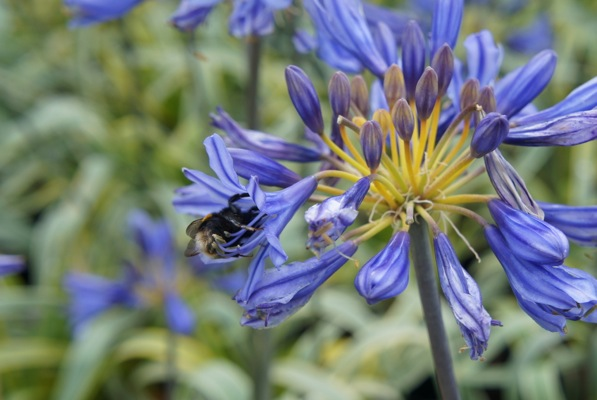Agapanthus Goldstrike flower close-up