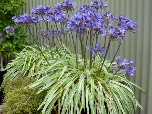 Agapanthus Goldstrike on patio
