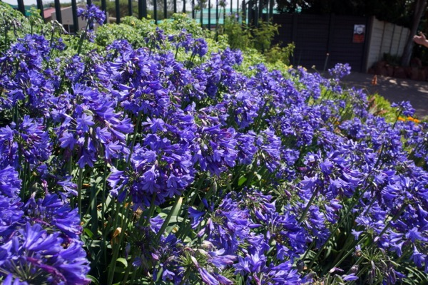 Agapanthus Everpanthus® Ever Sapphire flower image