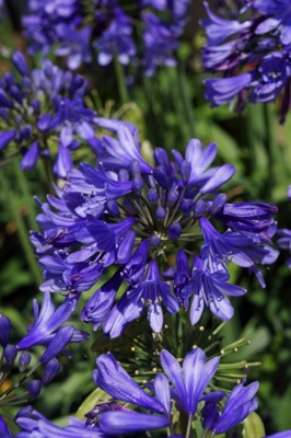 Agapanthus Everpanthus® Ever Sapphire flower close-up