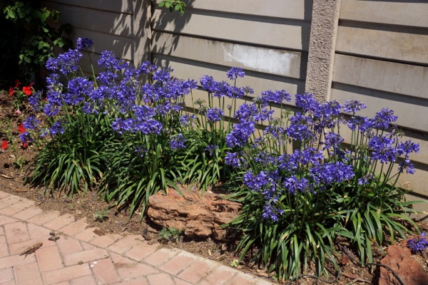 Agapanthus Everpanthus® Ever Sapphire in garden