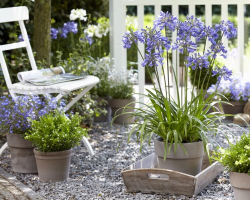 Agapanthus Everpanthus® Ever Sapphire on patio