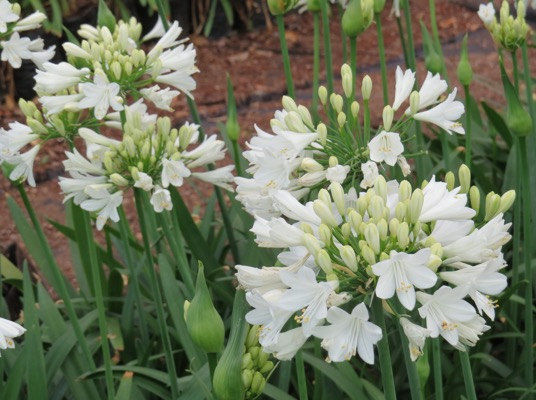 Agapanthus Everpanthus® Ever White flower image