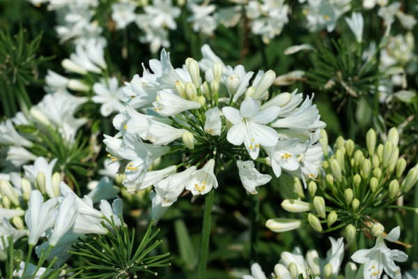 Agapanthus Everpanthus® Ever White flower close-up