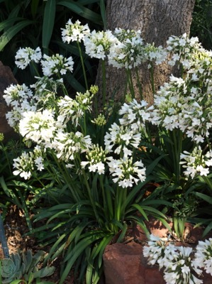 Agapanthus Everpanthus® Ever White in garden