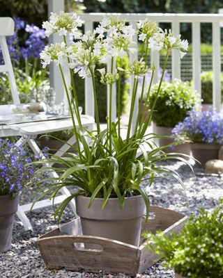 Agapanthus Everpanthus® Ever White on patio
