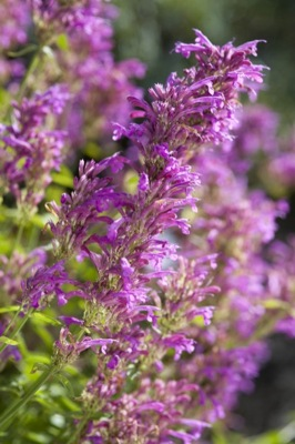 Agastache Heatwave flower close-up