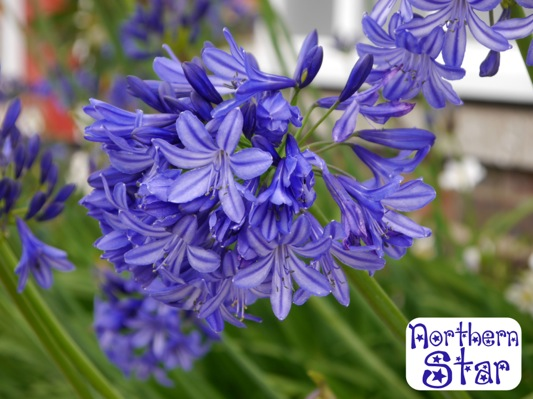 Agapanthus Northern Star flower close-up