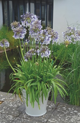 Agapanthus Fireworks on patio