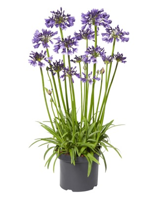 Agapanthus Poppin' Purple in pot