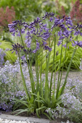 Agapanthus Poppin' Purple in garden