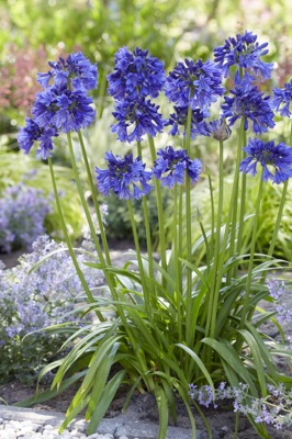 Agapanthus Blue Thunder in garden