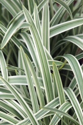 Agapanthus Silver Moon foliage close-up
