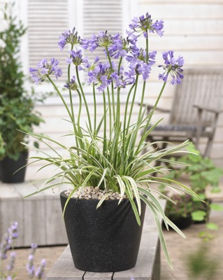 Agapanthus Silver Moon on patio