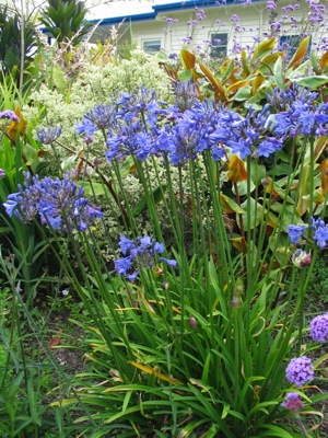 Agapanthus Tom Thumb in garden