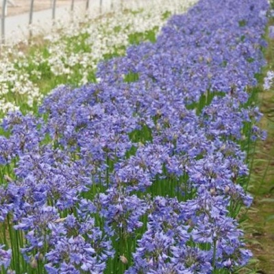 Agapanthus Tom Thumb with nursery