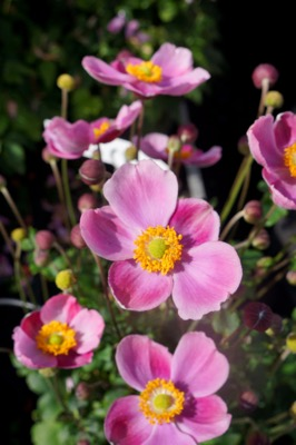 Anemone Pink Cloud flower image
