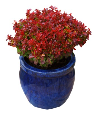Berberis Lutin Rouge in pot