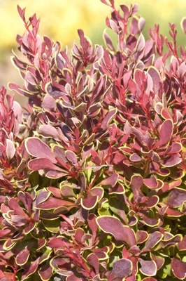 Berberis Golden Ruby foliage