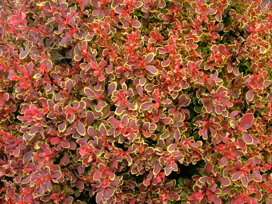 Berberis Golden Ruby foliage close-up