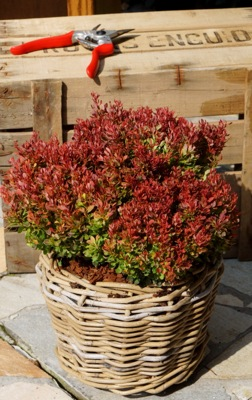 Berberis Golden Ruby on patio